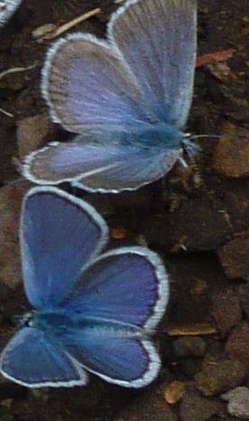 Blue butterflies-cropped
