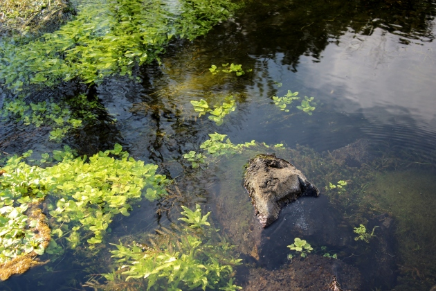 ritter island water plants