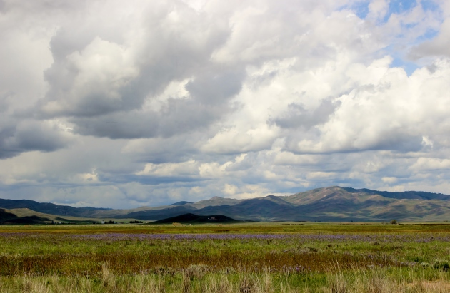 Camas (or quamash) field near Fairfield, Idaho