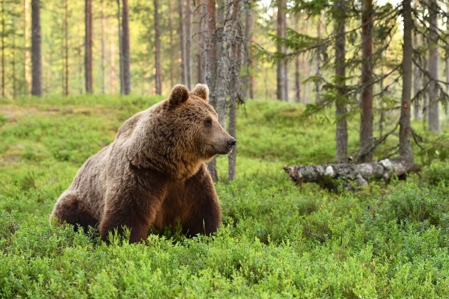 bear-in-forest