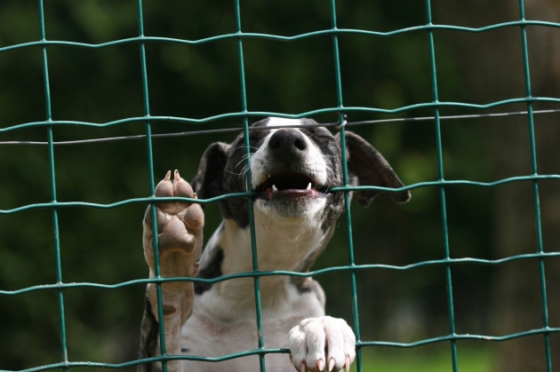 whippet behind fence