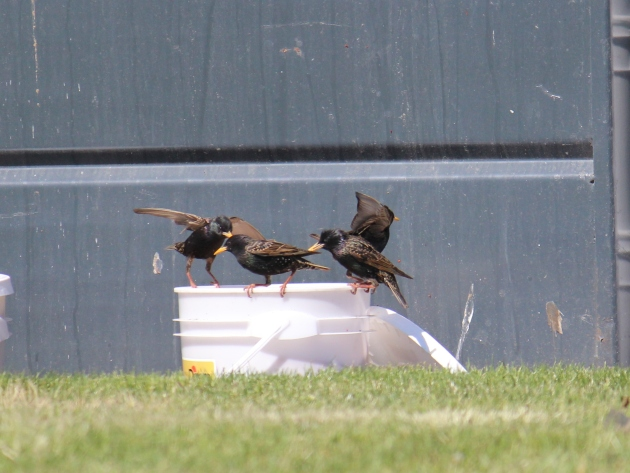 blackbirds eat pizza