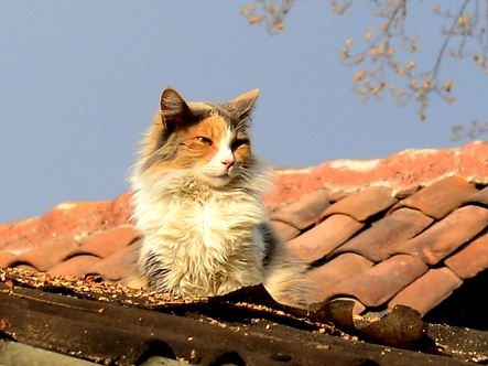 calico cat - shutterstock