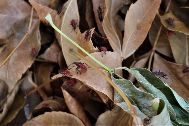 elm beetles (2)